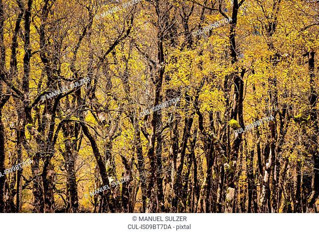 Forest of ancient maple trees, Karwendel region, Hinterriss, Tirol, Austria