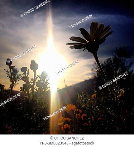 The sun shines behind flowers in Prado del Rey, Sierra de Cadiz, Andalusia, Spain