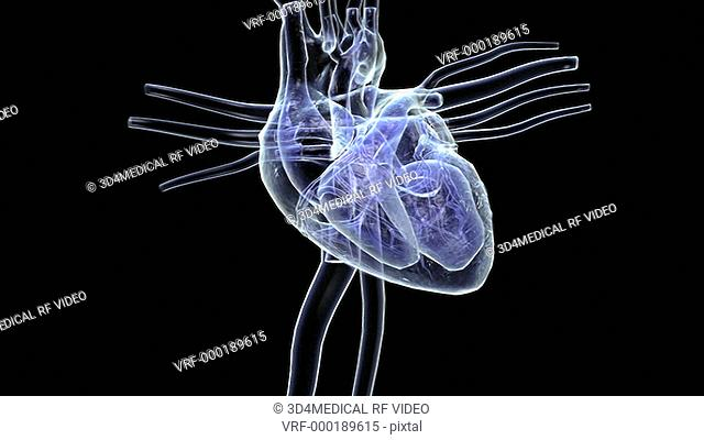 Animation depicting the heart with surrounding veins and arteries in an x-ray style