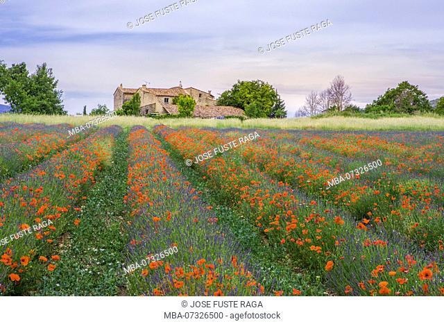 France, Provence Region, amapolas and lavanda field