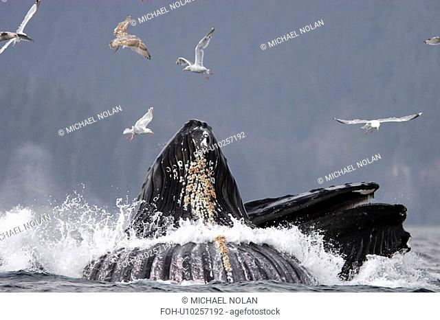 Humpback Whales Megaptera novaeangliae Adults cooperative bubble-net feeding for herring. Iyoukeen Bay, Chichagof Island, Southeast Alaska