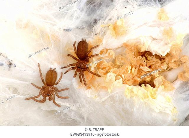 Killimanjaro mustard baboon spider (Pterinochilus chordatus), young birdspiders hatch from their cocoon, with cocoon and skinning residues