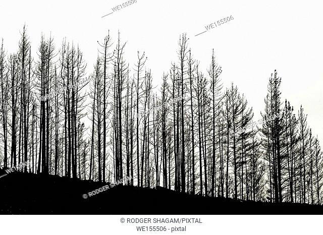 The sun glows through a heavy pall of smoke after an enormous forest fire while a row of burnt trees in silhouette stand tall