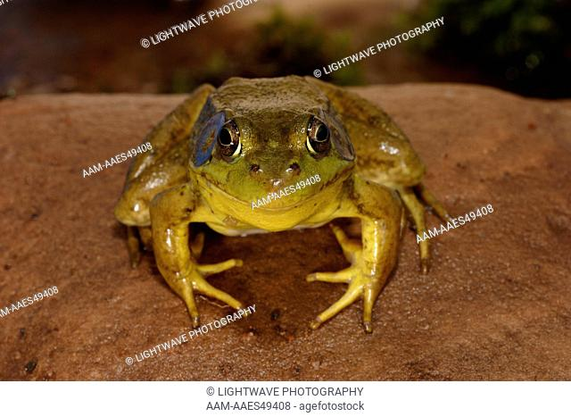 Northern Green frog (Male coloration) (Rana clamitans melanota) Eastern United States Captive situation