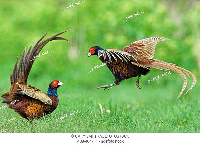 Pheasants (phasianus colchicus) two cockbirds fighting, Norfolk UK, May