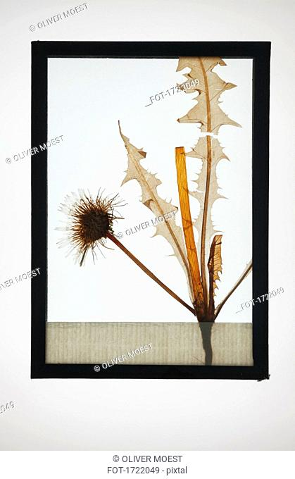 Reproduction of Common Dandelion plant specimen