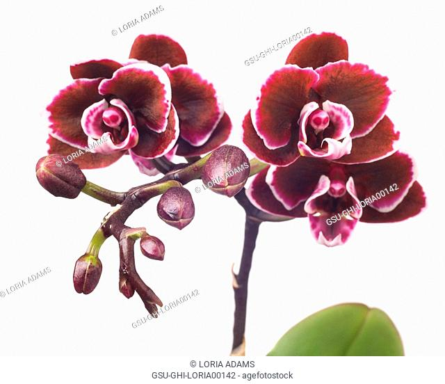 Miniature Maroon Orchid on White Background