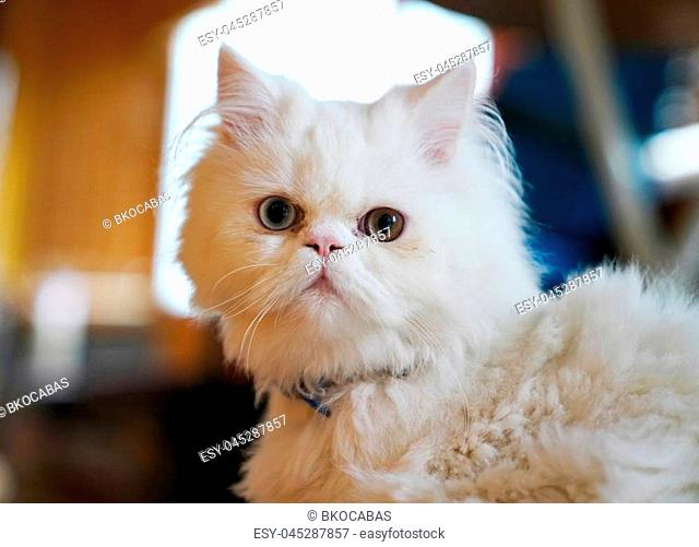 Persian and Turkish Van cats cross breed, white color and cat with odd eyes