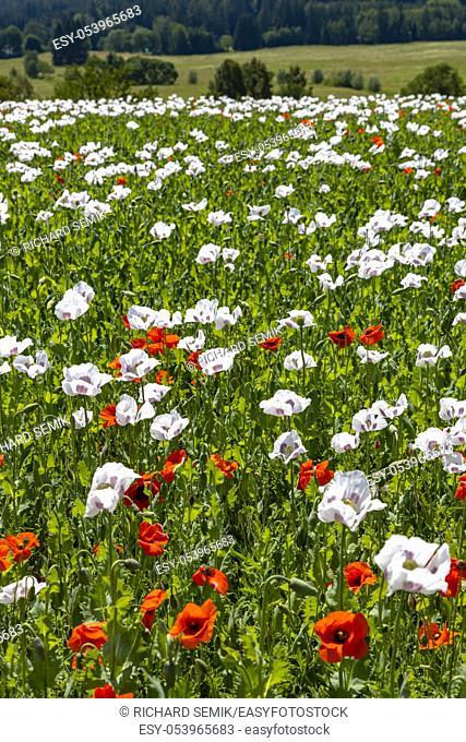 Poppy field, Vysoocina near Zdar nad Sazavou, Czech Republic
