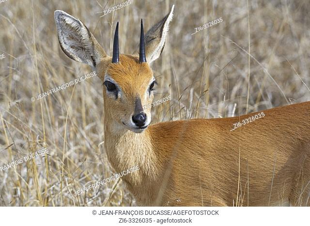 Steenbok (Raphicerus campestris), adult male standing in the dry grassland, attentive, animal portrait, Kruger National Park, South Africa, Africa