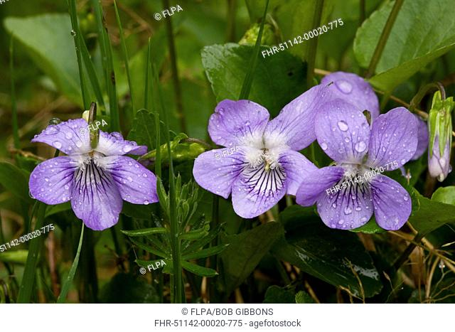 Common Dog Violet Viola riviniana close-up of flowers, after rainfall, Bulgaria, may