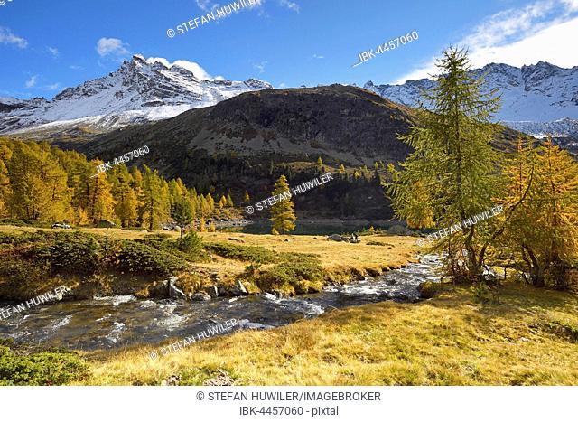 Larch forest in autumn, Lago di Val Viola, Corno di Dosdè mountain, Val di Campo, Grisons Canton, Switzerland