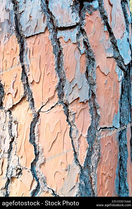 Pine trunks in line with their textured bark. Texture