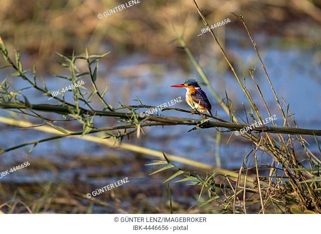 Malachite kingfisher (Corythornis cristata) on branch, Chobe River, Chobe National Park, Botswana