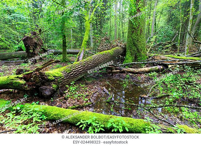 Deciduous stand rain after in summer with oak logs moss wrapped lying, Bialowieza Forest, Poland, Europe