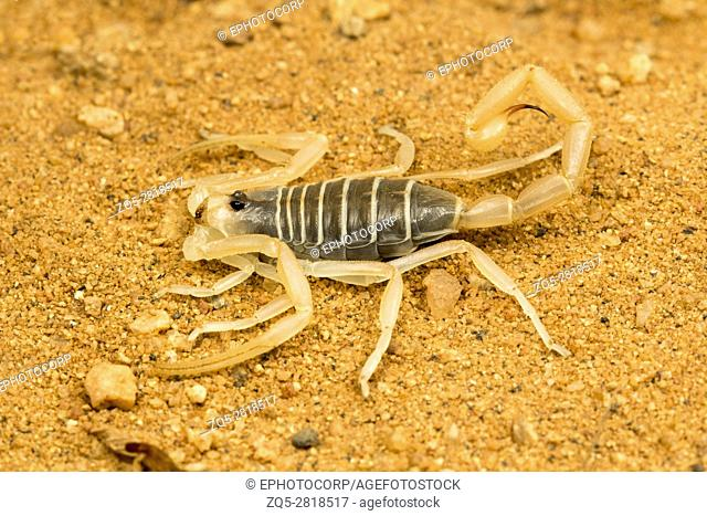 Scorpion, Buthacus agarwali, Desert National Park, Rajasthan. A species of scorpion occurring in the deserts of Rajasthan