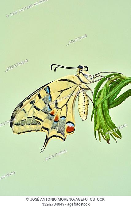 Papilio machaon, Swallowtail Butterfly, Benalmadena, Malaga province, Andalusia, Spain
