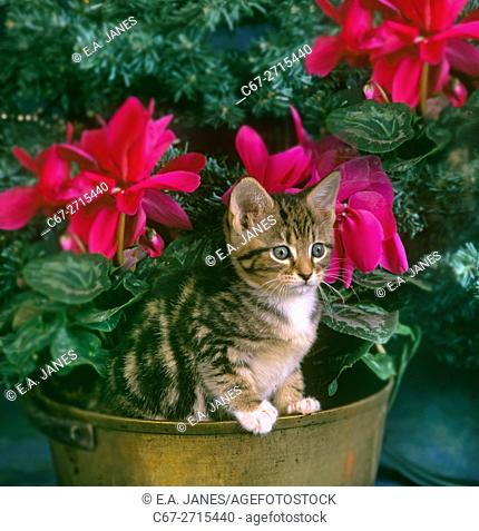 Tabby Kitten in Spring with apple blossom