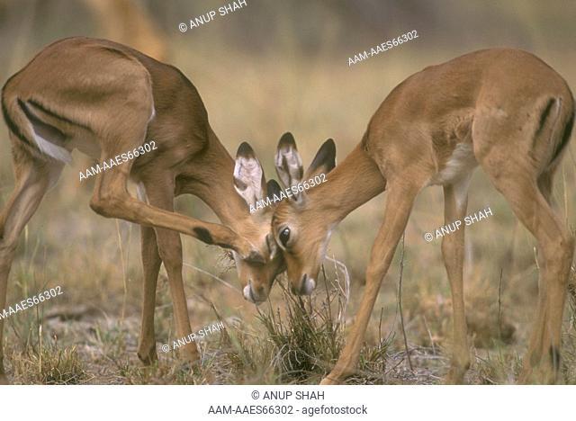 Impala Fawns play fighting (Aepyceros melampus), Samburu N.R., Kenya