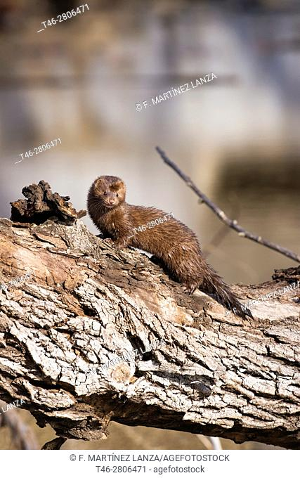 American mink (American mink), photographed in the Guadarrama Regional Park, Spain