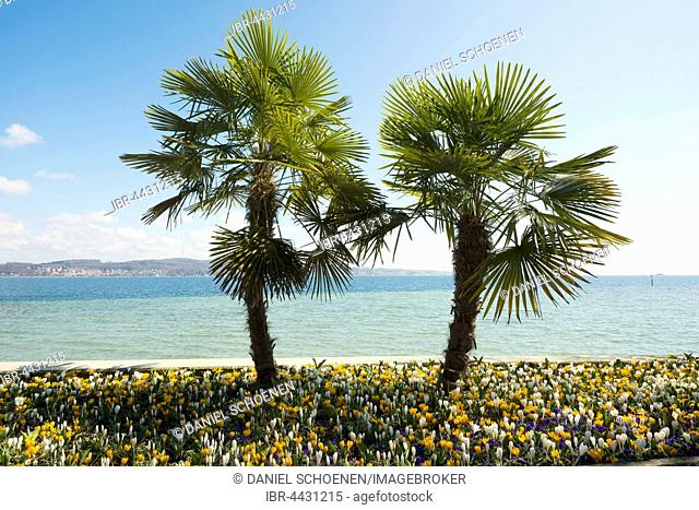 Blooming crocuses in flowerbed with palm trees, spring, Mainau Island, Flower Island, Constance, Lake Constance, Baden-Württemberg, Germany