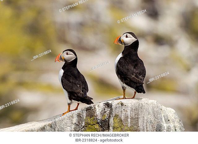 Atlantic puffins (Fratercula arctica), Farne Islands, Northumberland, England, United Kingdom, Europe