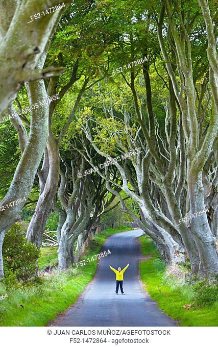 The Dark Hedges  Ballymoney Countryside  Antrim County, Northern Ireland, Europe