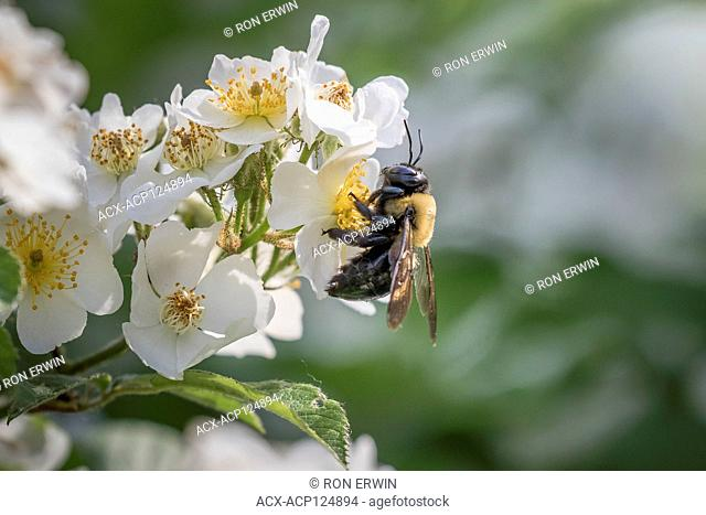 Eastern Carpenter Bee (Xylocopa virginica) on Multiflora Rose (Rosa multiflora), Toronto, Ontario, Canada - the wild bee is native to Canada the flowers are not