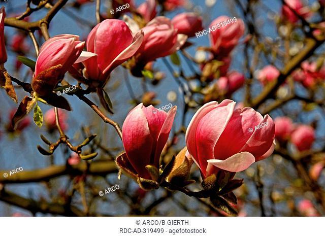 Magnolia / Magnolia spec
