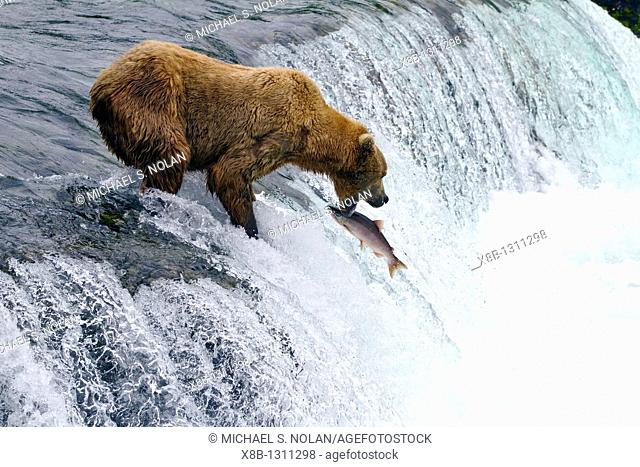 Adult brown bear Ursus arctos foraging for salmon at the Brooks River in Katmai National Park near Bristol Bay, Alaska, USA  Pacific Ocean  MORE INFO Every July...