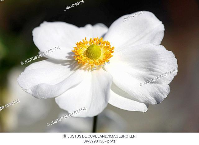 Flowering Japanese anemone (Anemone x hybrida Honorine Jobert), Germany