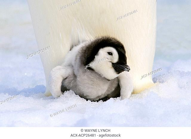 Emperor penguin Aptenodytes forsteri chick resting on its parent's feet, Snow Hill Island, Antarctic Peninsula