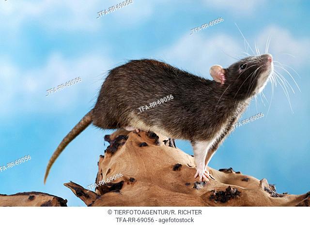 climbing fancy rat