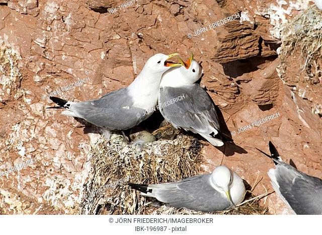 Kittiwakes (Rissa tridactyla) at nest