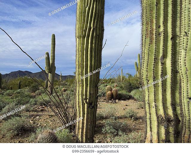 Saguaro cacti landscape at Usery Mountain Recreation Area, Mesa, Arizona, United States of America