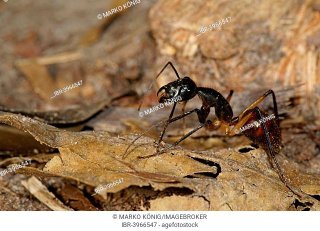 Giant forest ant (Camponotus gigas), Tanjung Puting National Park, Central Kalimantan, Borneo, Indonesia