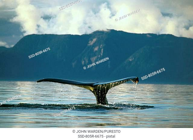 Tail fin of a Humpback Whale Megaptera novaeangliae