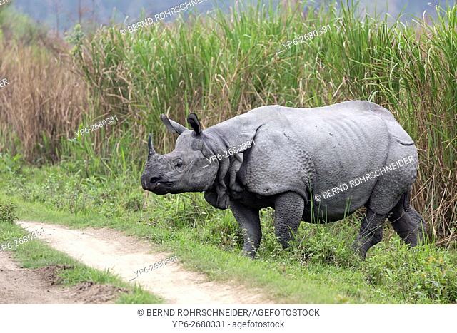 Indian rhinoceros (Rhinoceros unicornis) crossing track, threatened species, Kaziranga National Park, Assam, India