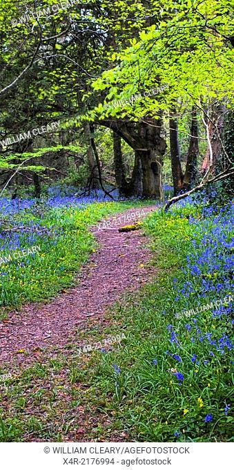 Forest path and bluebells at Tudenham, Mullingar, County Westmeath, Ireland