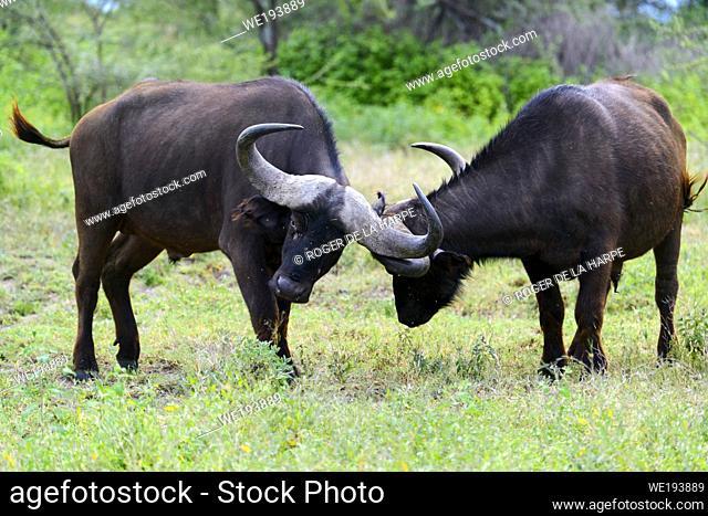 African buffalo or Cape buffalo (Syncerus caffer) fighting. Ngorongoro Conservation Area (NCA). Tanzania