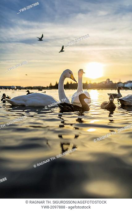 Swans and ducks in the pond at sunset, Wintertime, Reykjavik, Iceland