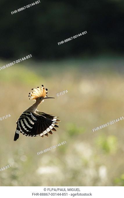 Eurasian Hoopoe (Upupa epops) adult, in flight, Vojvodina, Serbia, June