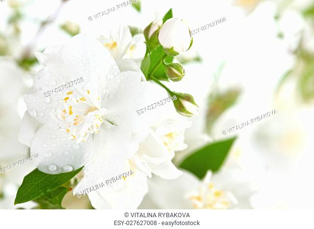 Close up shot of white jasmine flowers