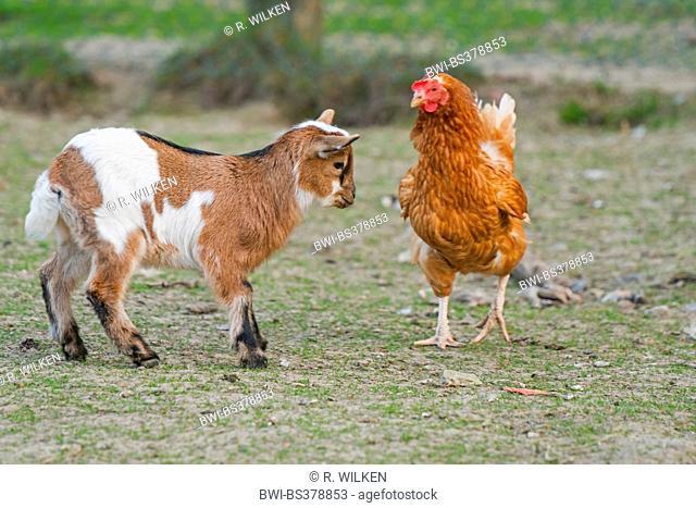 domestic goat (Capra hircus, Capra aegagrus f. hircus), goat kid approching a hen, Germany, North Rhine-Westphalia
