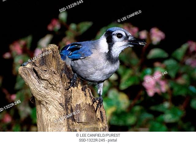 Blue Jay on a tree, North Carolina, USA