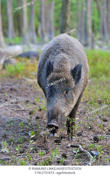 Wild boar, Sus scrofa, Hesse, Germany