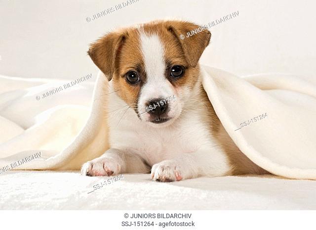 half breed dog puppy - lying restrictions: animal guidebooks, calendars