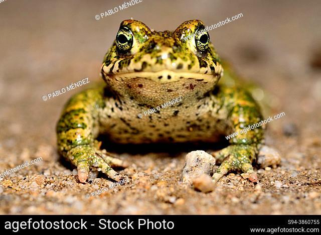 Natterjack toad (Epidalea calamita) close to Navalafuente, Madrid, Spain