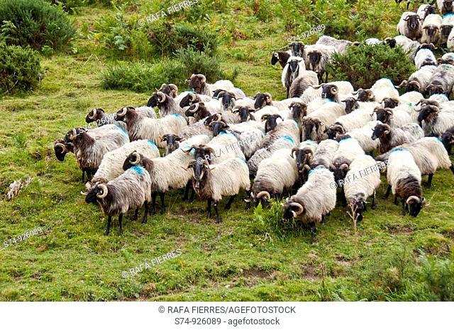 Corderos en la Selva de Irati, Navarra, Spain