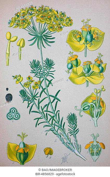 Cypress Spurge (Euphorbia cyparissias), historical illustration from 1885, Germany